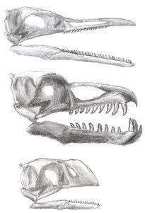Ichthyornithiformskulls