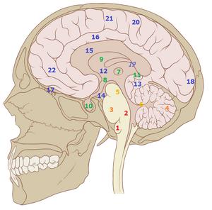 Brain structures2