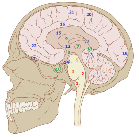 File:Brain structures2.png