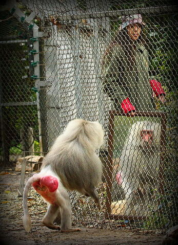 File:Mirror test with a Baboon.JPG
