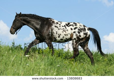 File:Stock-photo-appaloosa-horse-stallion-moving-13808683.jpg