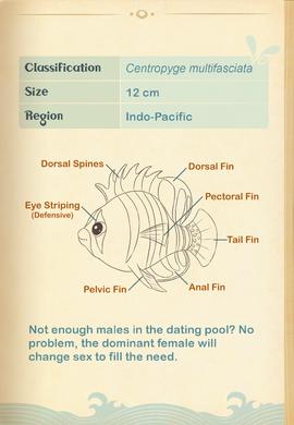 Barred Angelfish§Aquapedia2