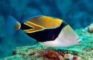 ReefTriggerfishReal