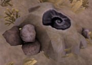 Petrified sun dried nautilu