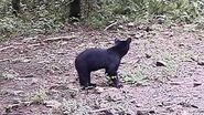 Lost Bear cub crying for mom