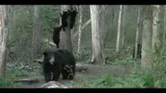Mother Bear Sends Cubs Up Tree