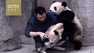 Cute Alert!Clingy pandas don't want to take their medicine