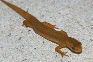 Watersalamander