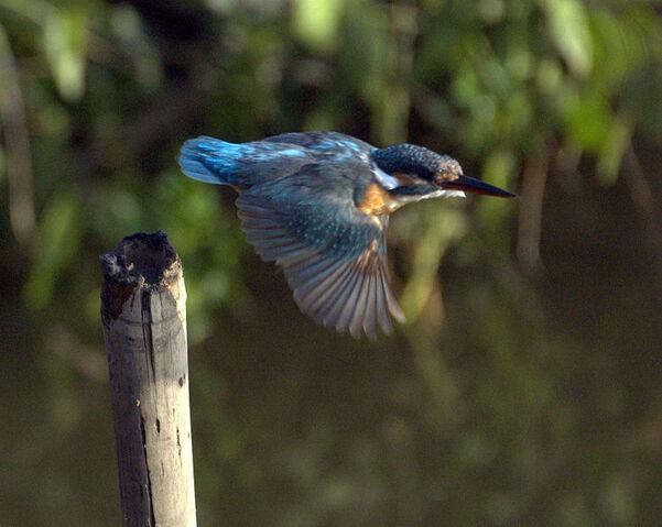 Bestand:Kingfisher.jpg