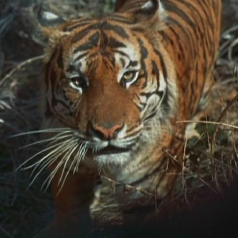 File:Bengal tiger.jpg