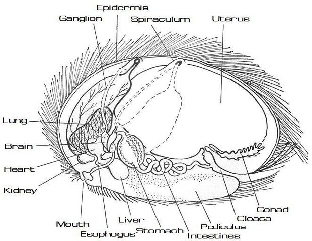 File:Tribble anatomy diagram (labeled).jpg