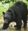 Tarik the bear-SWI24.png