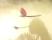 Felucia bird