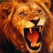 File:Angry Lion.jpg