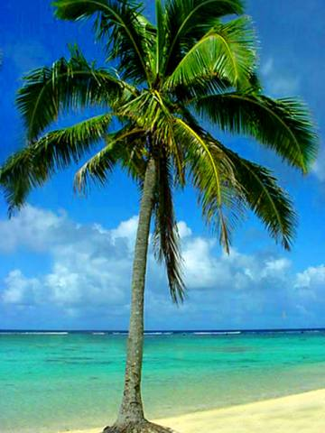 File:Palm-trees.jpg
