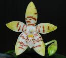 Phalaenopsis Tetrasambo
