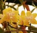 Phalaenopsis Carol Swearingen