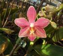 Phalaenopsis Caribbean Sunset