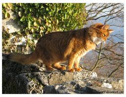 File:Somali cat II by LS0901.jpg