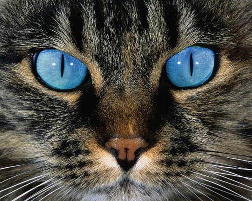 File:Blue Eyed Tabby Cat by OnlyAngel55.jpg