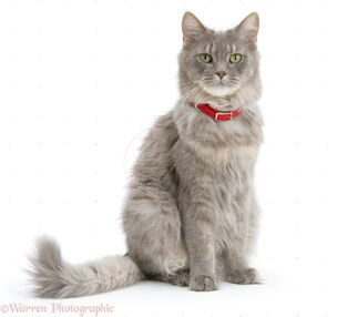26805-Maine-Coon-wearing-a-red-collar-white-background