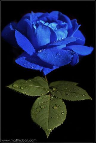 File:Bluerose.jpg