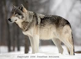 File:Skyler (wolf form).jpg