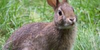 Rabbit (animal)