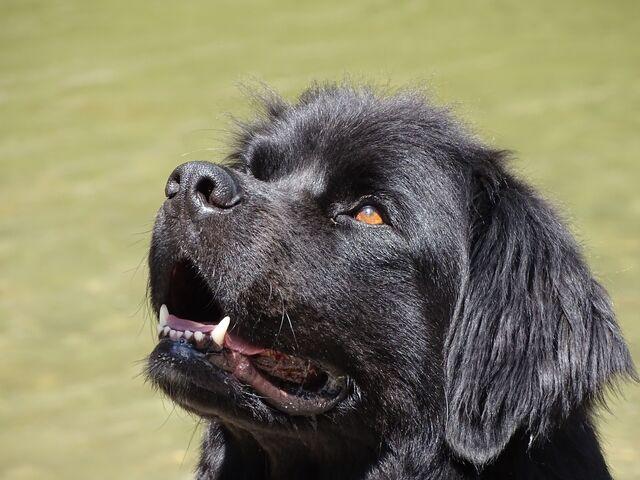 File:Water-Dog.jpg