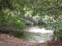 Mangrove trees in Everglades