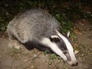 Badgerbadger 1