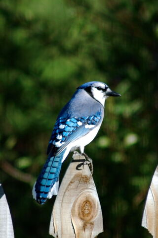File:Bluejay-1320.jpg