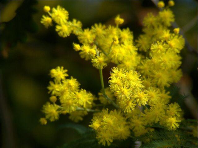 File:Mimosa+-Acacia+dealbata--866.jpg