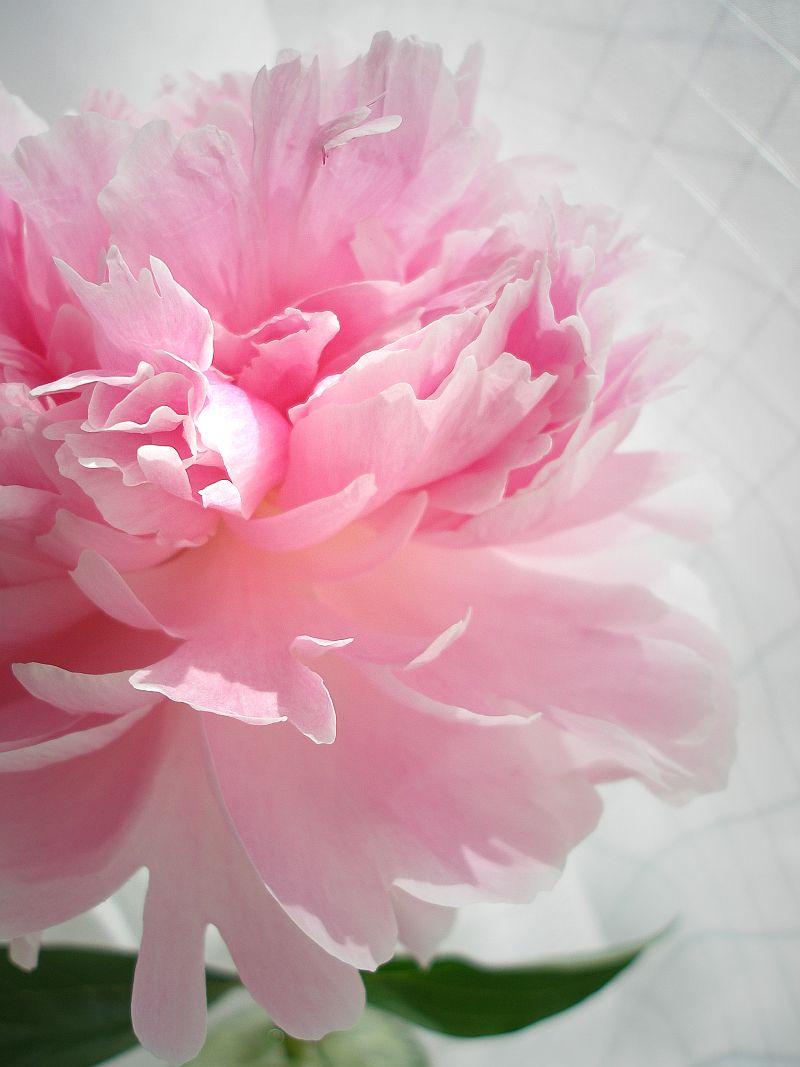 peony  symbolism wiki  fandom powered by wikia, Natural flower