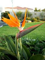 Bird+of+Paradise+flower-4079