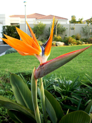 File:Bird+of+Paradise+flower-4079.jpg