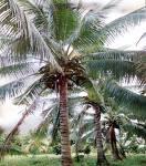 File:Coconut Tree.jpg