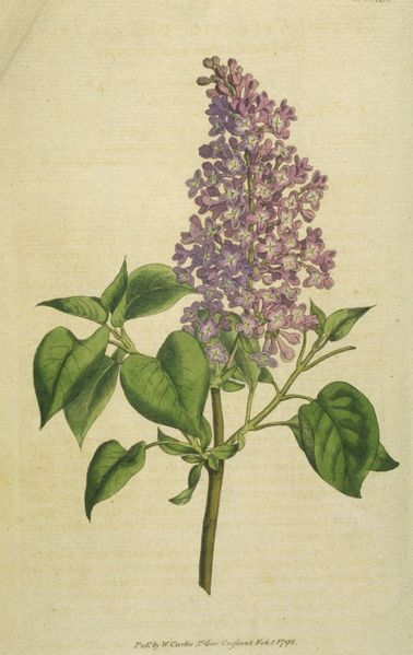lilac  symbolism wiki  fandom powered by wikia, Natural flower