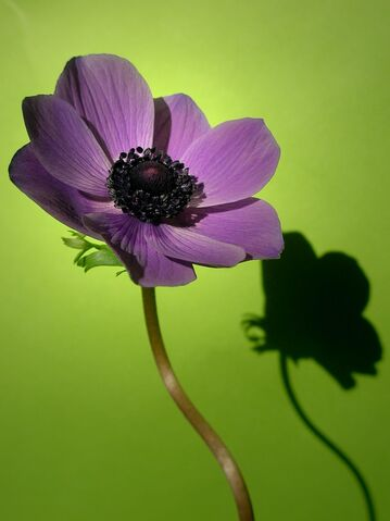 File:Purple+anemone-6867.jpg