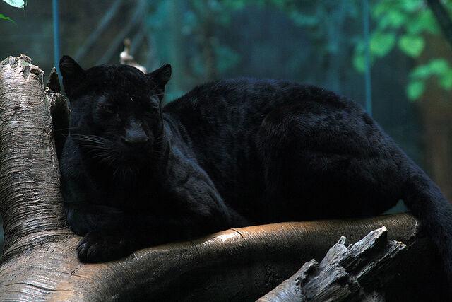 File:Panther-9585.jpg