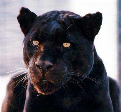 File:Blackjaguar big.jpg