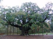 Robin Hood Major Oak