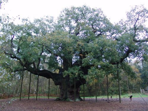 File:Robin Hood Major Oak.jpg