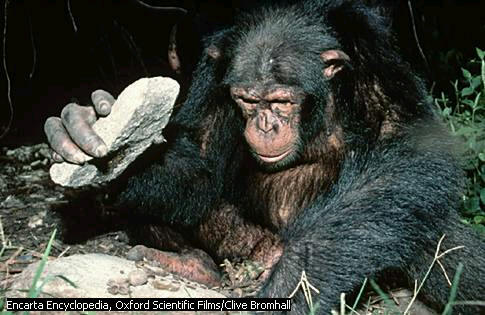 File:Chimp2.jpg