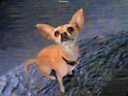 Taco Bell Chihuahua on Godzilla's Tail