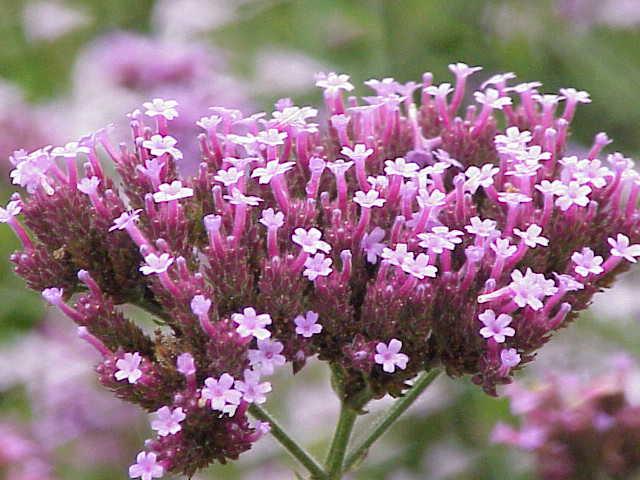 File:Verbena bonariensis1.jpg