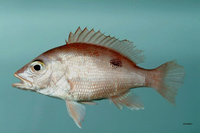 File:RedSnapper.jpg