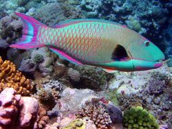 BicolorParrotfish