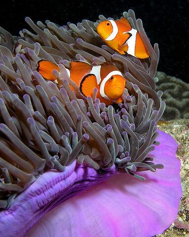 File:479px-Anemone purple anemonefish.jpg