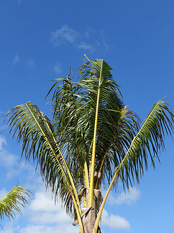File:Cocos nucifera (coconut palm)- Mild boron deficiency.jpg